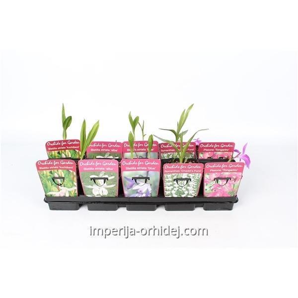 Орхидеи Buiten  Mix