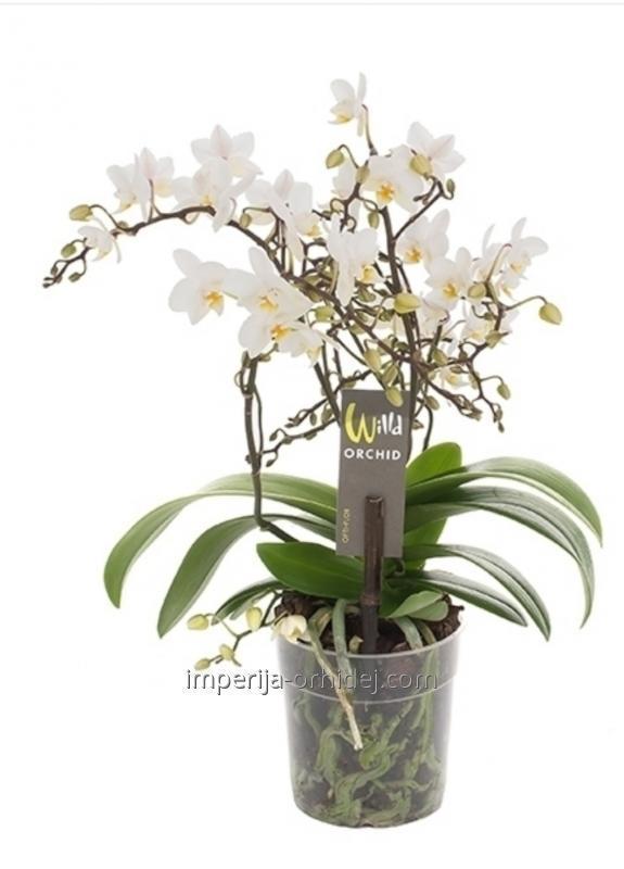 Мультифлора Willd White
