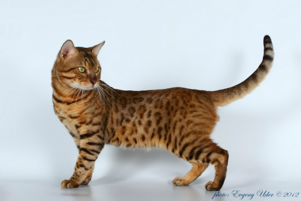 Продам кота бенгальского