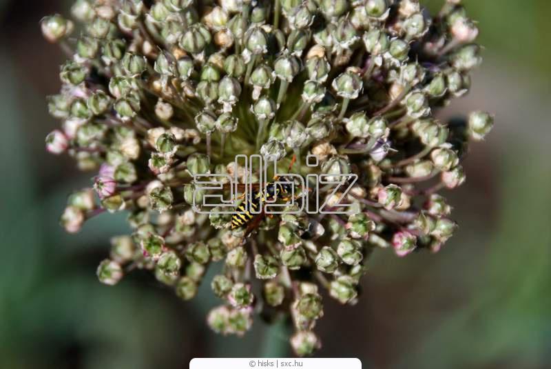 Купить Семена чеснока, однозубка оптом и в розницу