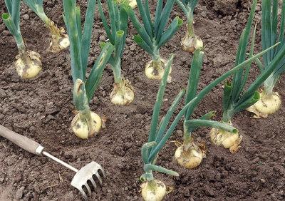 Купить Семена лука посадочного оптом и в розницу