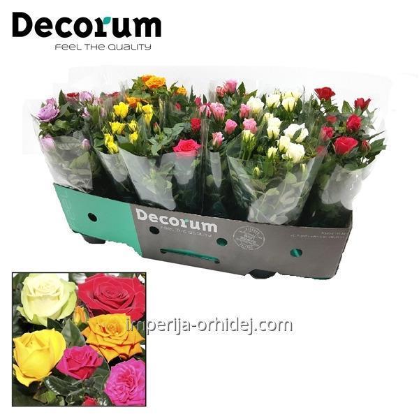 Роза Potrozen P10,5 Decorum Feel