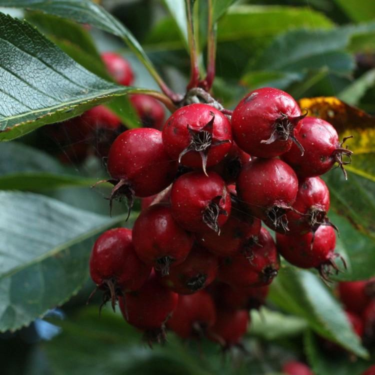 Купить Глід сливолистий Crataegus prunifolia (persimilis)