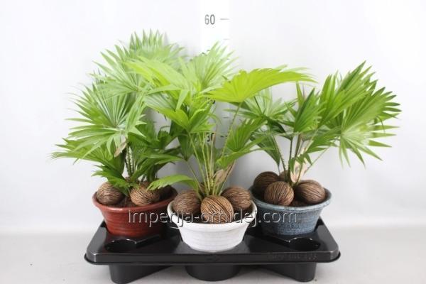 Пальма Livistona Rotundifolia 7 A hosta small mix