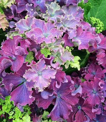 Купить Гортензия крупнолистная Curly Sparkle Purple