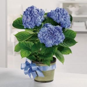 Купить Гортензия крупнолистовая Nikko Blue