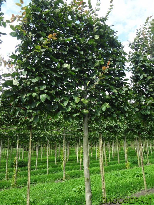 Buy Carpinus betulus Purpurea