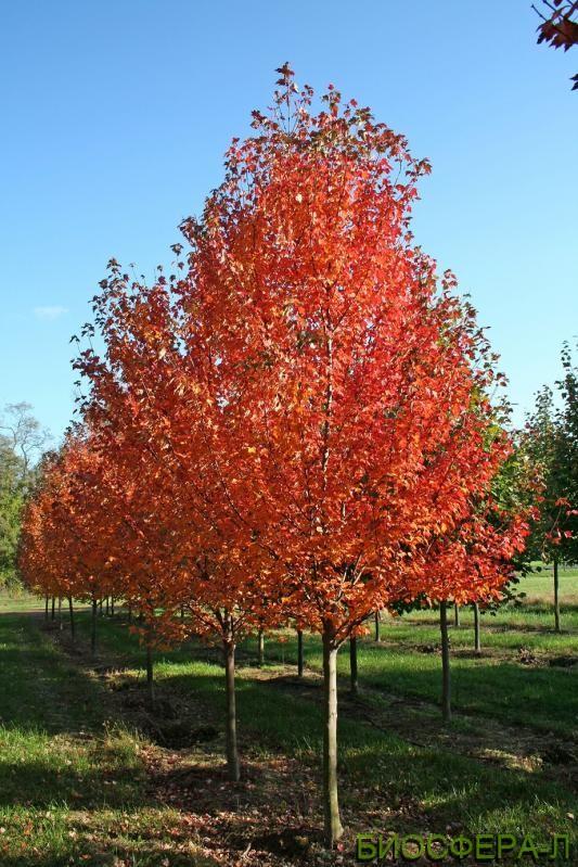 Buy Norway maple Autumn Blaze