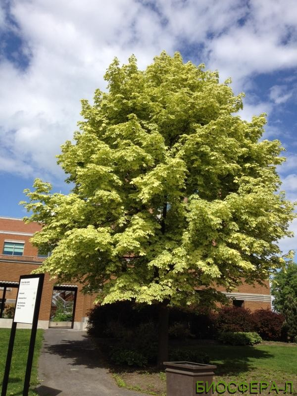 Buy Norway maple Drummondii