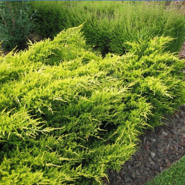 Buy Juniperus Pfitceriana Old Gold