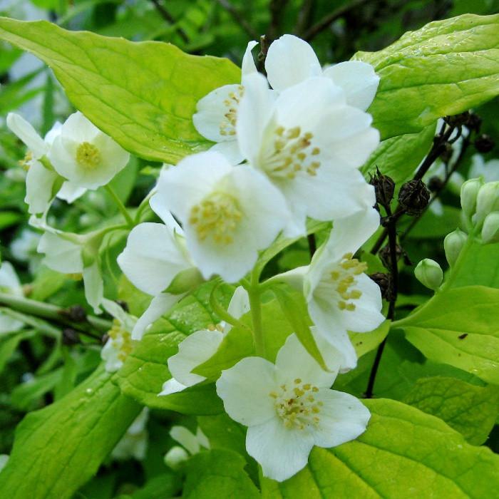 Купить Чубушник венечный/жасмин садовый Aureus