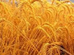 Купить Пшеница третьего класса