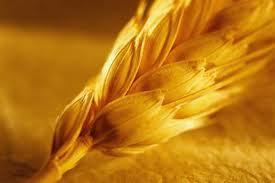 Купить Пшеница 6-й класс