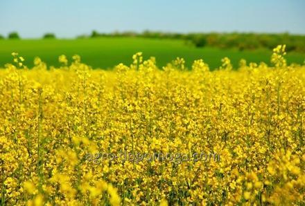 Buy Oil-bearing crop seeds