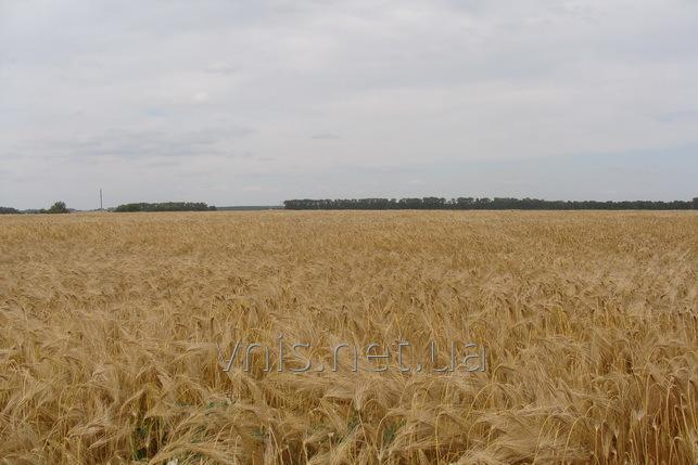 Семена ячменя озимого КВС, Saatbau, Селген
