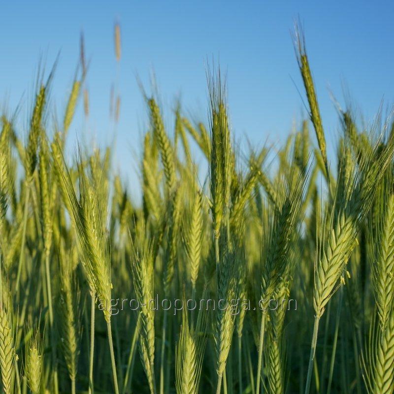 Пшеница озимая Коляда элита