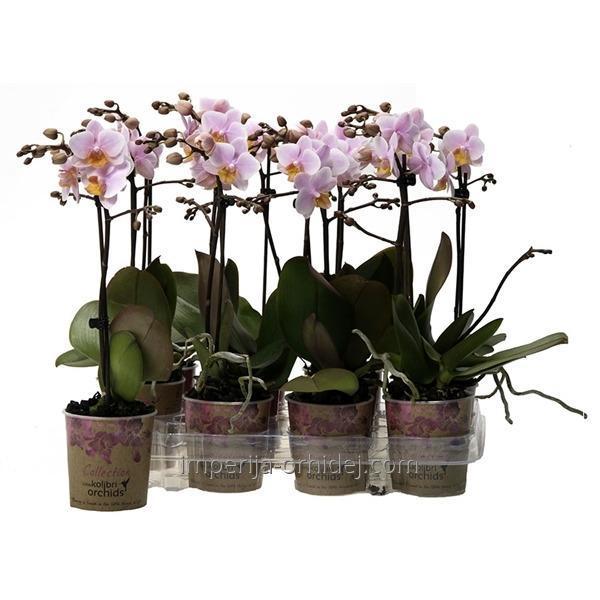 Фаленопсис Kolibri Orchid 1tak Pink