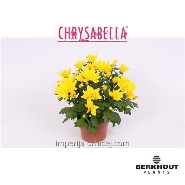 Хризантема Chrysant Heat Yellow