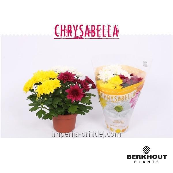 Хризантема Chrysant Carnaval Double