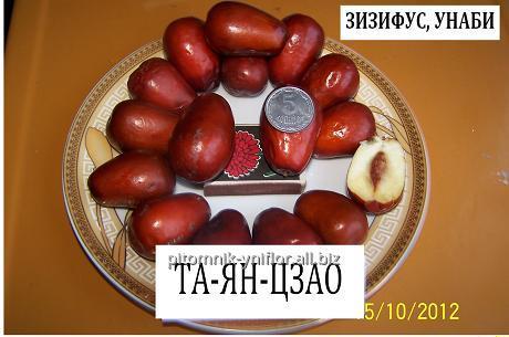 Купить Саженцы зизифуса унаби сорт Та-ян-цзяо 2х летний привитый саженец китайский финик жожоба Zizуphus jujuba Mill.