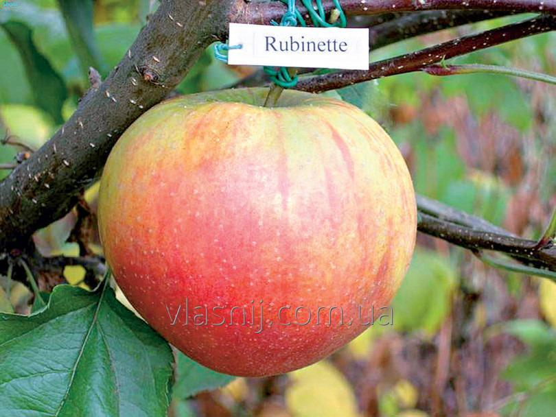 Яблоня Рубинетте.