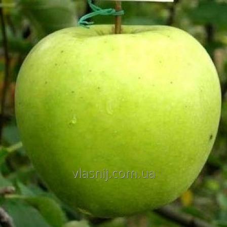 Яблоня сорт Мутсу.