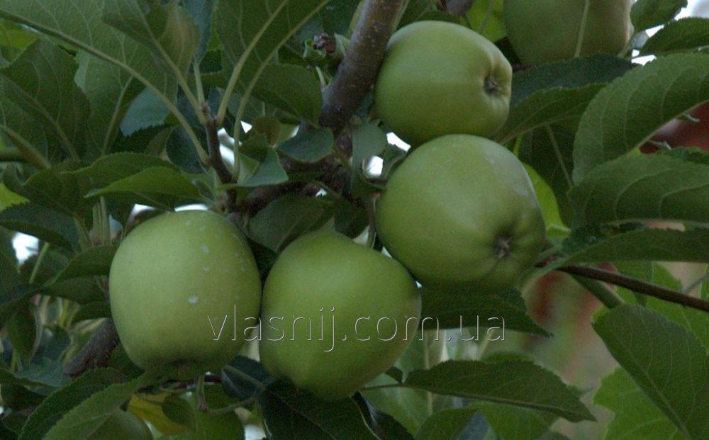 Яблоня Смеральда