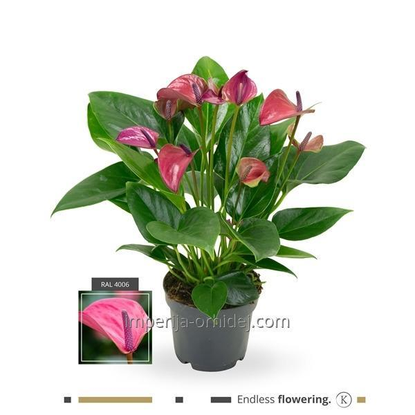 Антуриум Purple Anthurium | 12cm