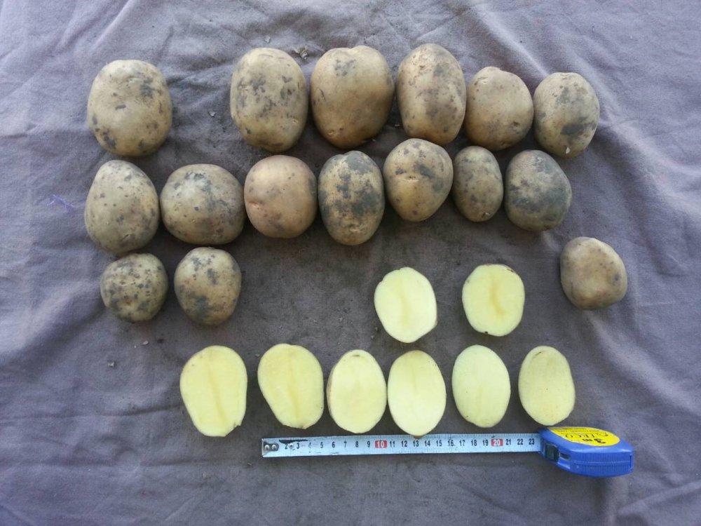 Potatoes Tuscany