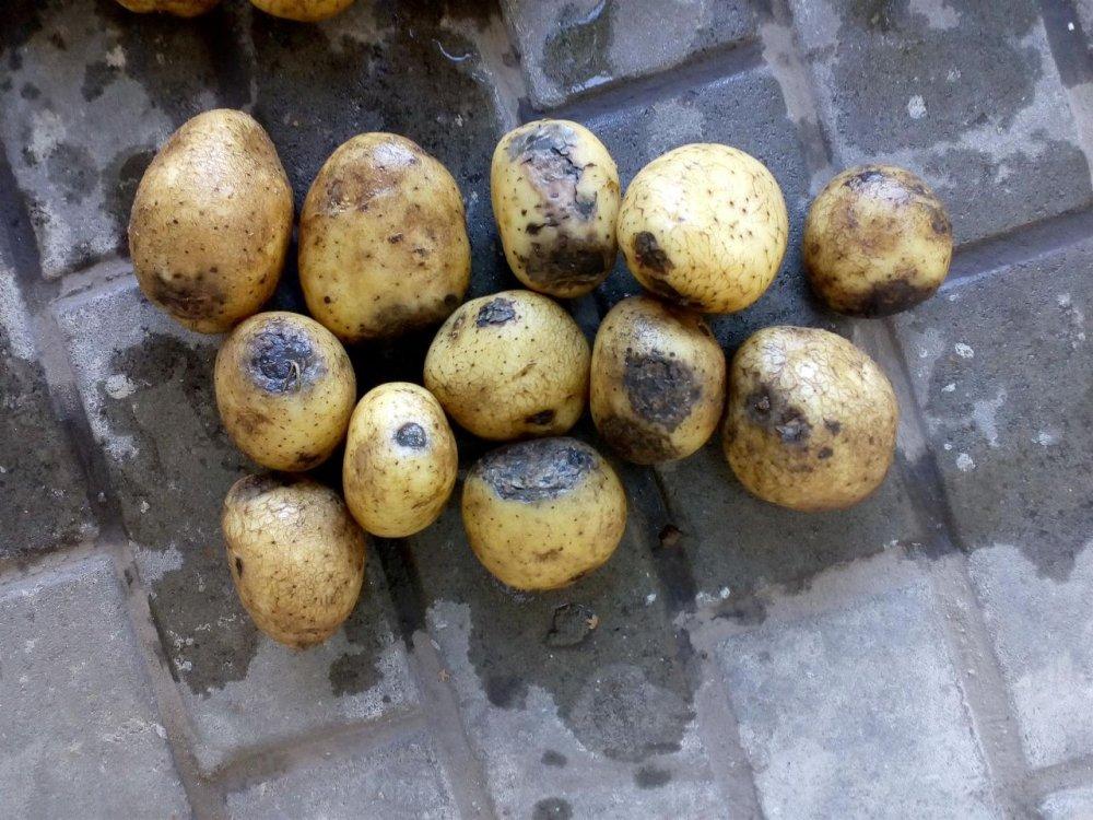Купити Картопля другого сорту Мелоді