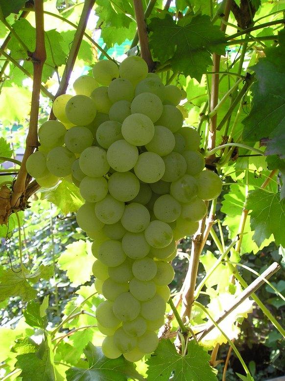 виноград столовый фото описание