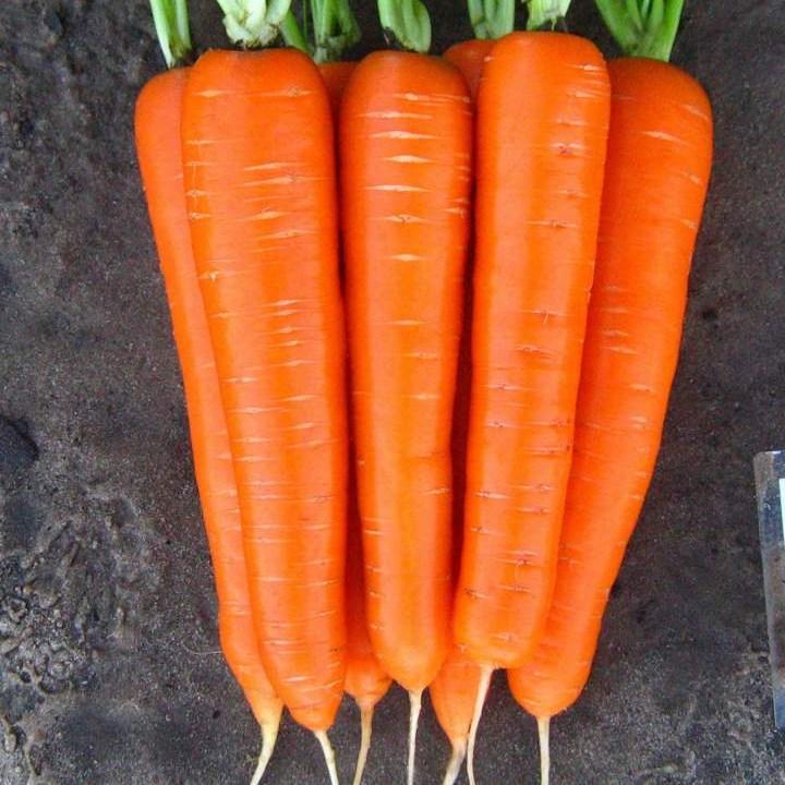 Морковь раннего сорта Лагуна