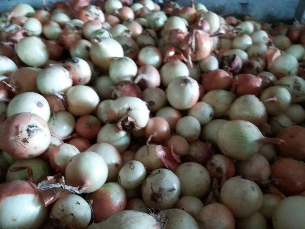 Onions 2 grade Medusa