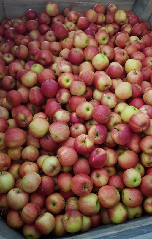 Gala apple variety