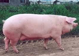 Купить Свиньи мясных пород, Украина
