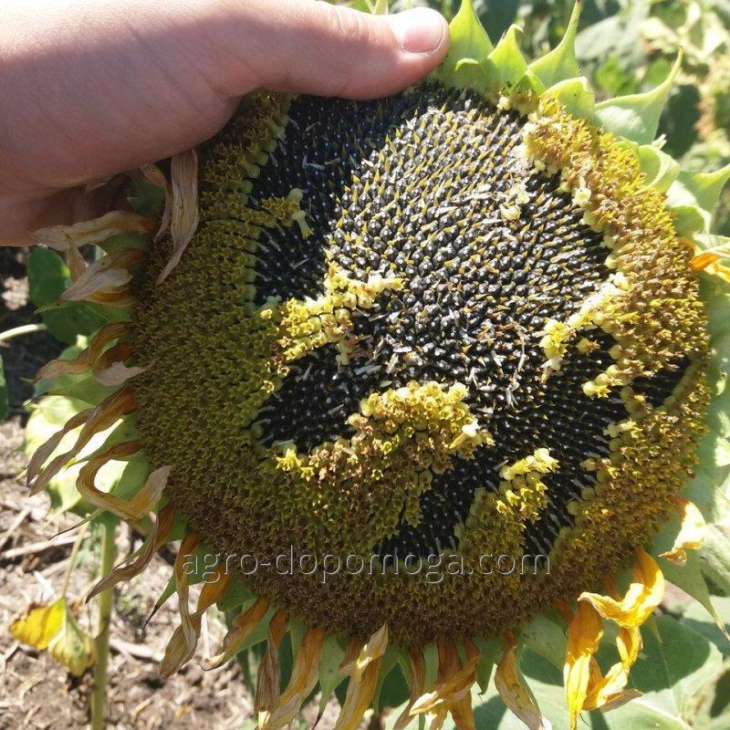 Семена подсолнечника Карат (под Гранстар)