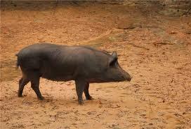 Купить Свиньи дикие