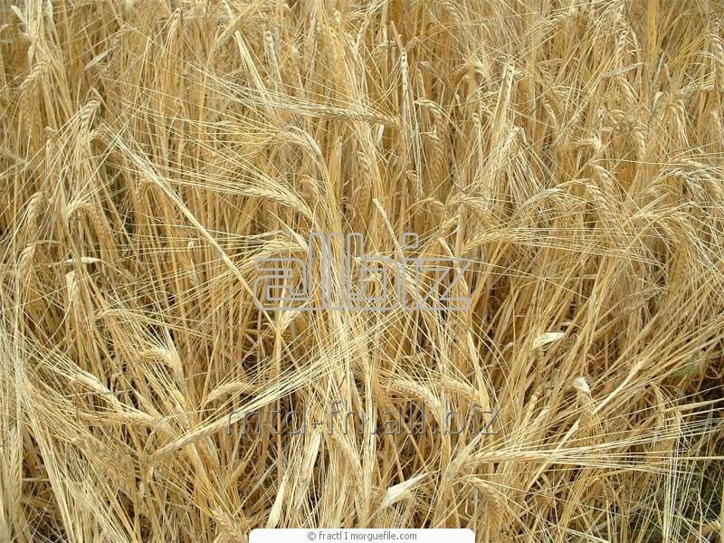 Семена озимого ячменя сорт Титус