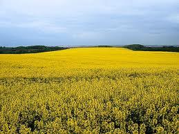 Buy Colza hybrids from Monsanto's company