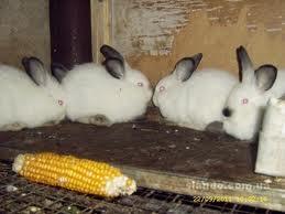 Купить Молодняк кроликов