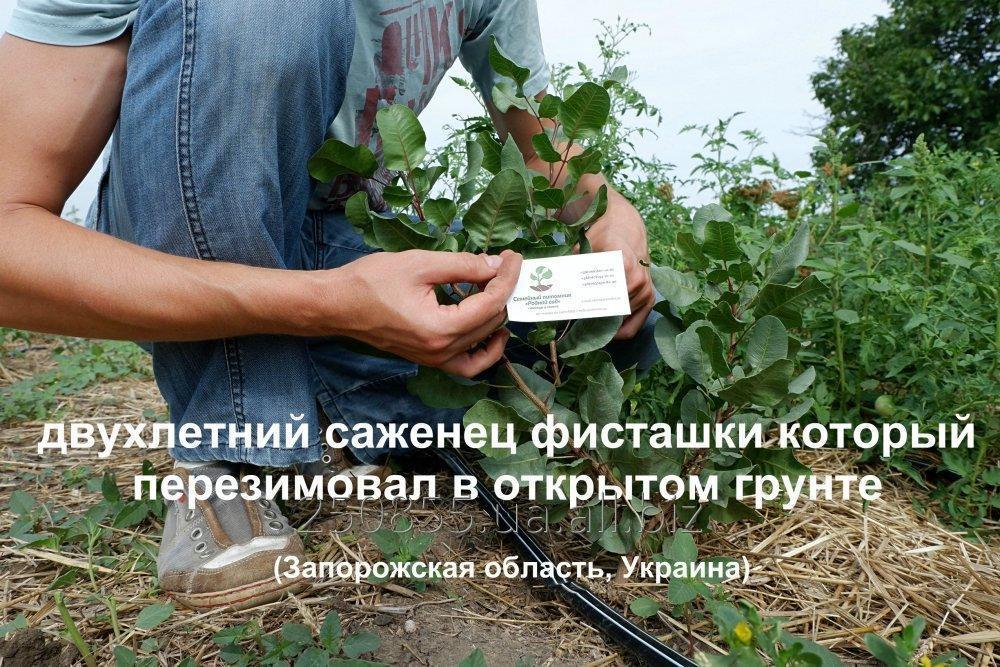 Купить Семена фисташки (10 штук) орехи для сеянцев и саженцев, горіх насіння фісташкі для саджанців + инструкция