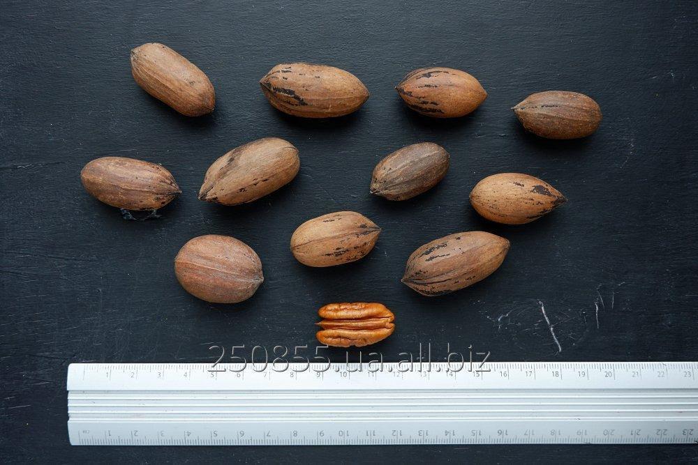 Купить Пекан семена (10 штук) орех кария для выращивания саженцев, горіх карія пекан + бесплатная инструкция
