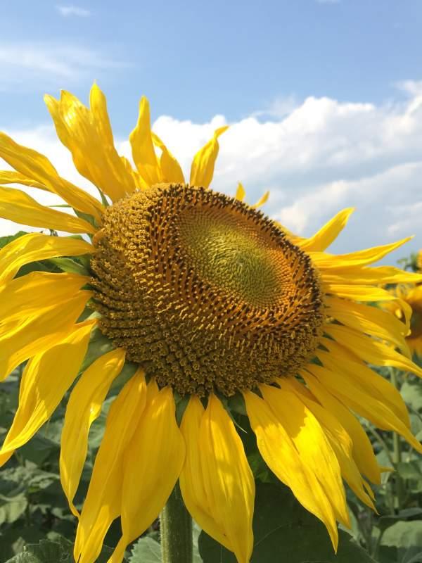 Купить Насіння соняшнику гібрид ОДІСЕЙ під Євро-лайтнінг