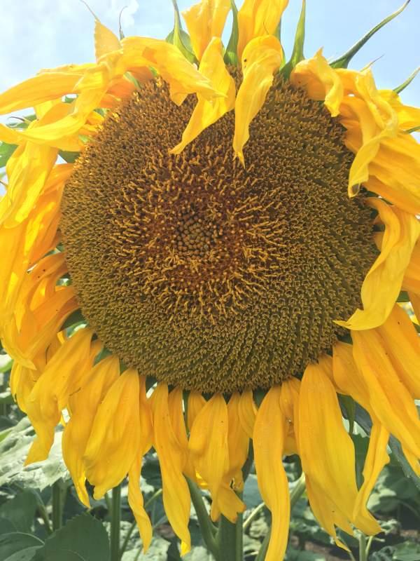 Купить Насіння соняшнику NS AVALON (NS H 6046)