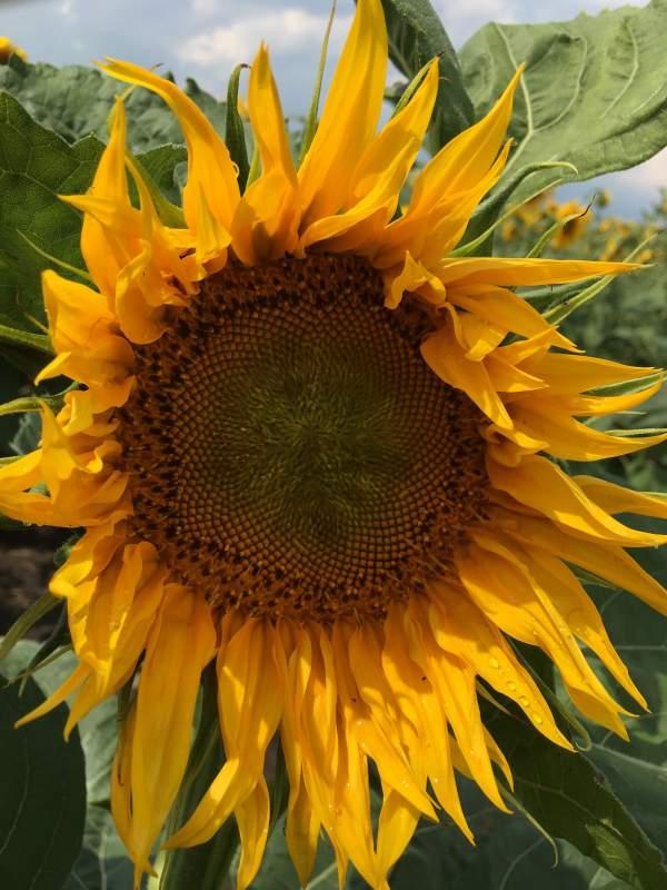 Купить Насіння соняшнику Бонд SU (толерантний до гранстару)