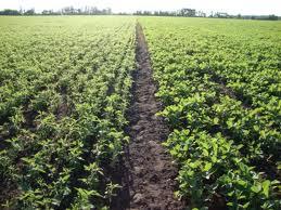 Купить Продукция сельскохозяйственная семена вики