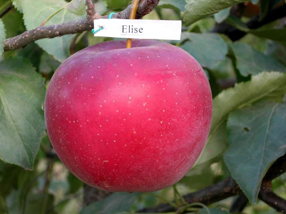 Купить Яблоки Элиза