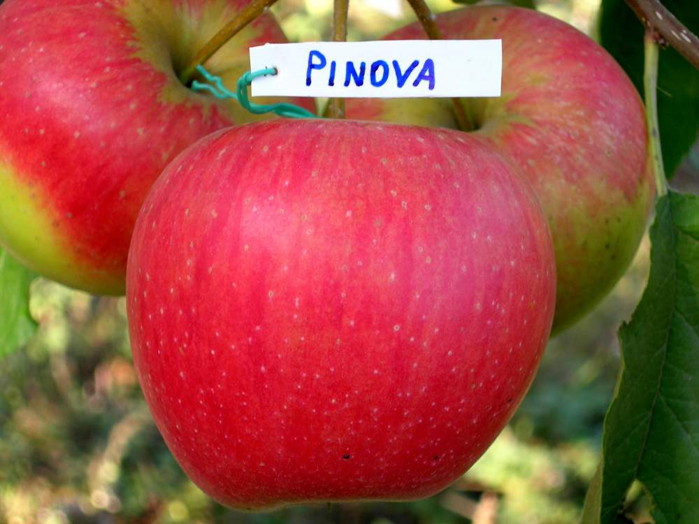 Купить Яблоки Пинова