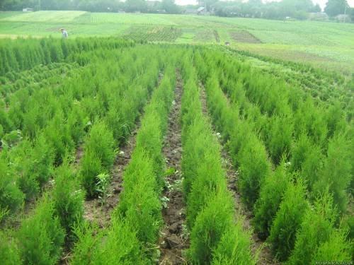 Купить Хвойные деревья собственного хозяйства