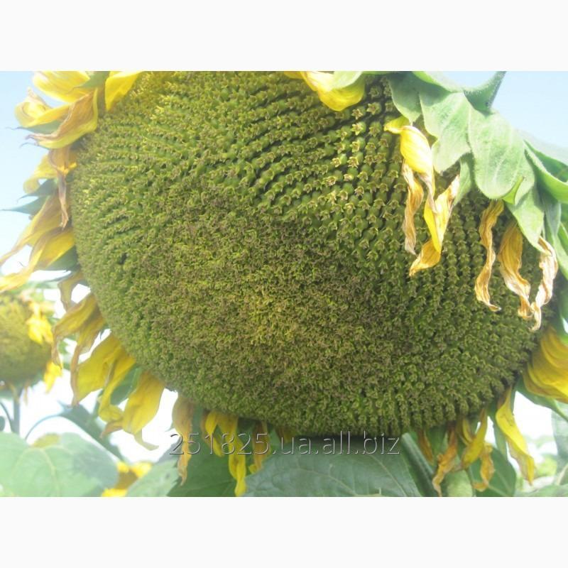 Купить Семена подсолнечника Златсон